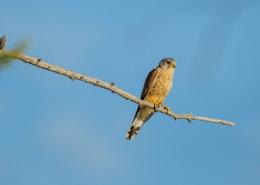 Kestrel sitting on a branch
