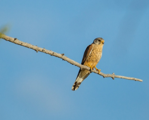 Kestrel sitting on a branch